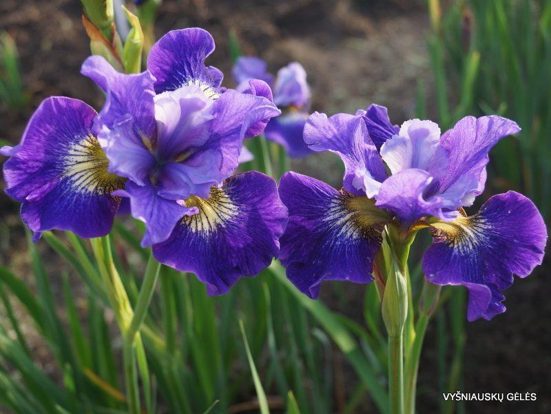 Iris 'Coronation Athem' (2)
