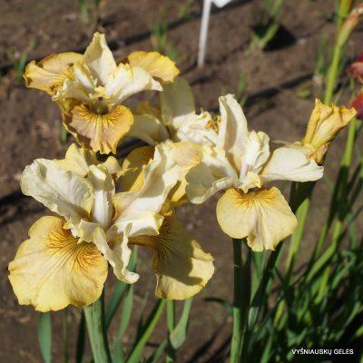 Iris 'Creme Caramel'