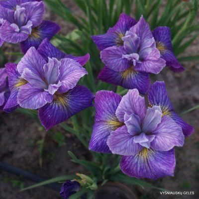 Iris 'Doreen Cambray'