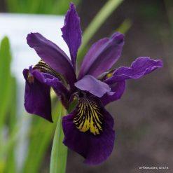 Iris 'Ellebank Mayfly' (3)