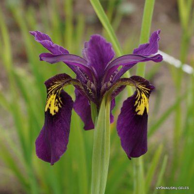 Iris 'Ellebank Mayfly'