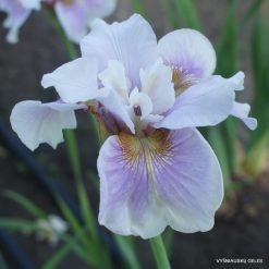 Iris 'Fond Kiss'