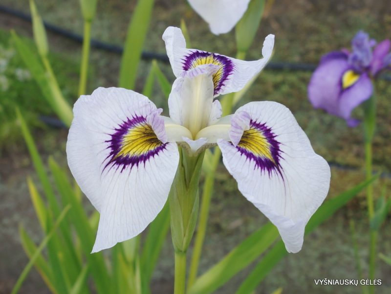 Iris 'Himebotaru' (3)