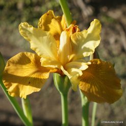 Iris 'Honey Chic'