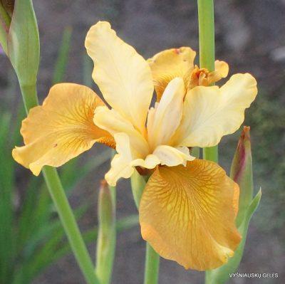 Iris 'Honey Chic' (2)