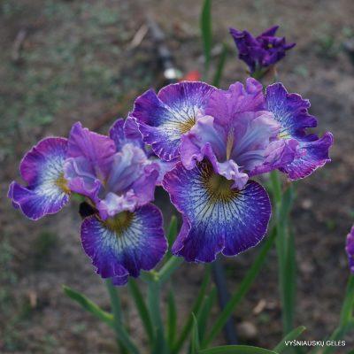 Iris 'How Audacious'