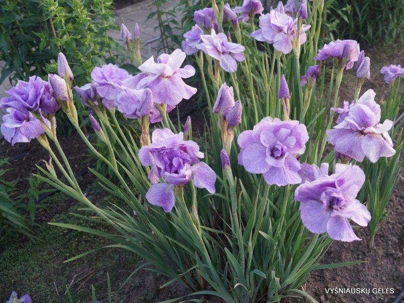 Iris 'Imperial Opal' (2)