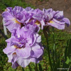 Iris 'Imperial Opal'