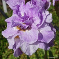 Iris 'Imperial Opal' (3)