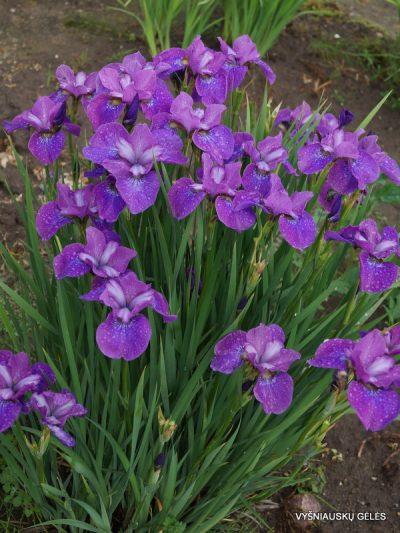 Iris 'Indy' (2)