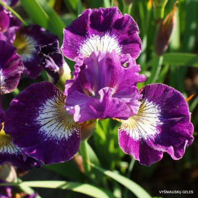 Iris 'Jeweled Crown' (2)