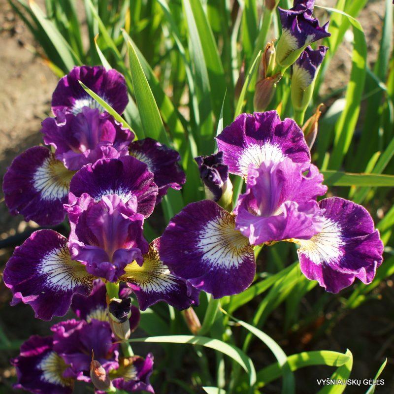 Iris 'Jeweled Crown' (3)