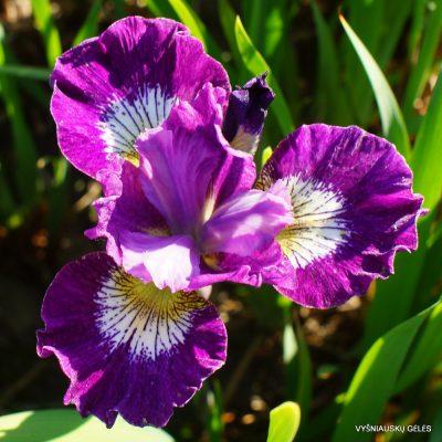 Iris 'Jeweled Crown'