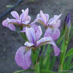 Iris 'Mint Fresh'