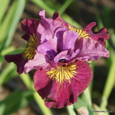 Iris 'Miss Apple' (2)