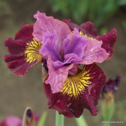 Iris 'Miss Apple'