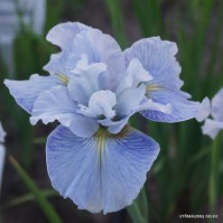 Iris 'Mission Bay'
