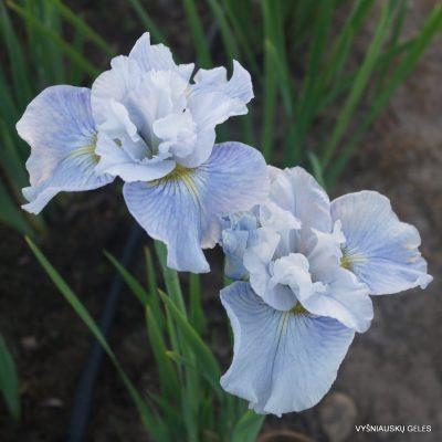 Iris 'Mission Bay' (2)