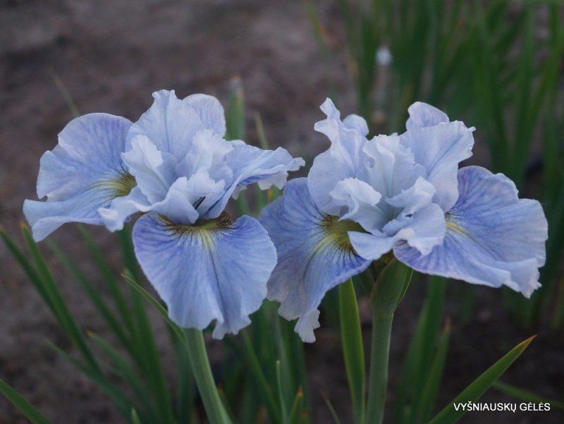 Iris 'Mission Bay' (3)