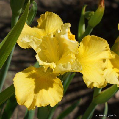Iris 'Olive Emerson'