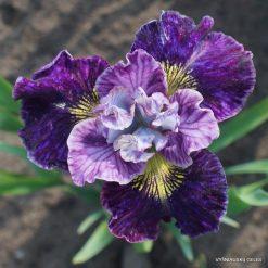 Iris 'On Mulberry Street'