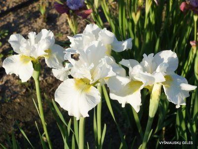 Iris 'Ordinary Angel' (2)