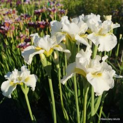 Iris 'Ordinary Angel' (3)