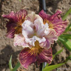 Iris 'Painted Woman'