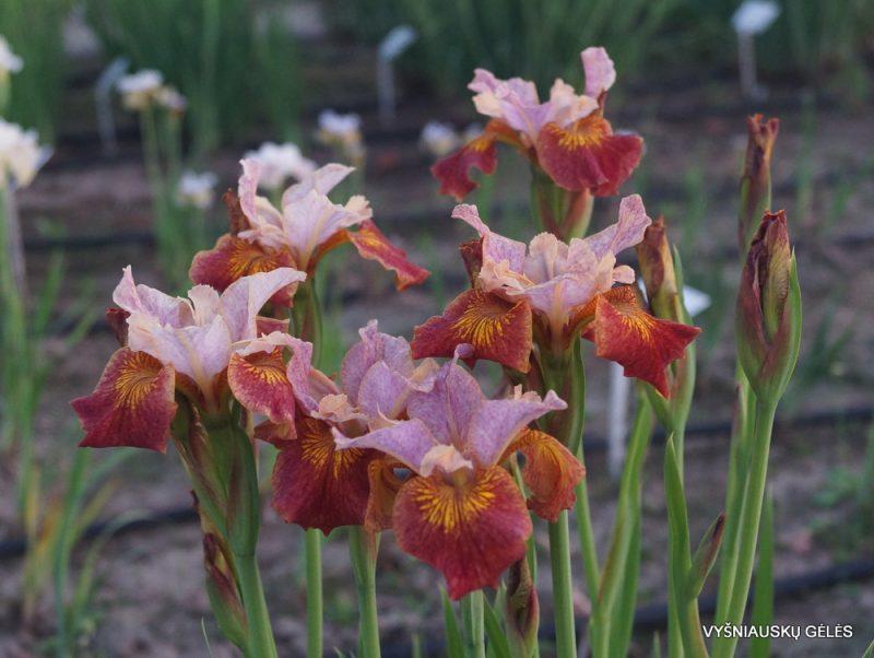 Iris 'Paprikash'