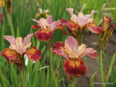 Iris 'Paprikash' (2)