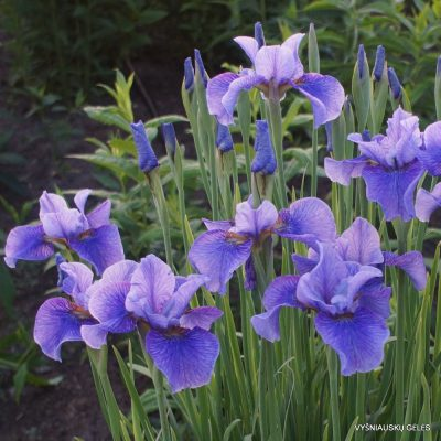 Iris 'Percheron' (2)