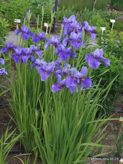Iris 'Percheron' (2)