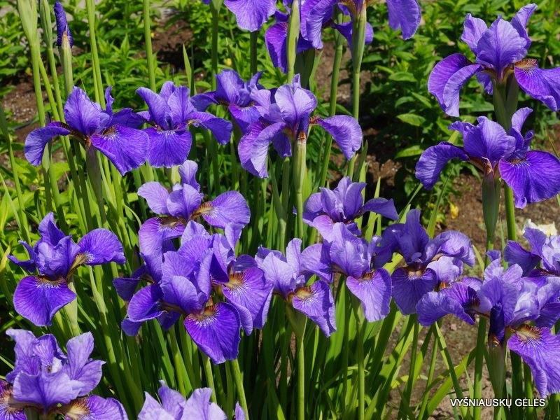 Iris 'Percheron' (3)