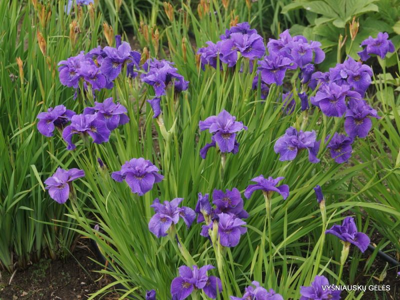 Iris 'Purple Prose' (2)