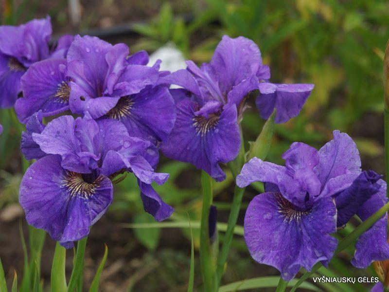 Iris 'Purple Prose' (3)