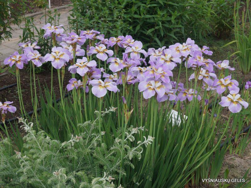 Iris 'Ranman' (2)