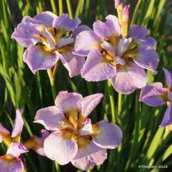 Iris 'Ranman' (3)