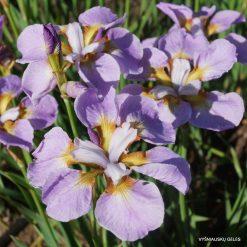 Iris 'Ranman' (4)