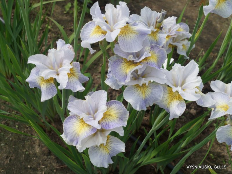 Iris 'Reel Cute' (2)