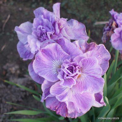 Iris 'Rigamarole' (2)
