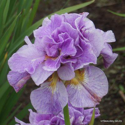 Iris 'Rigamarole'