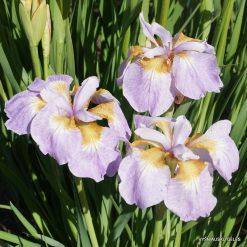 Iris 'Rikugi Sakura'