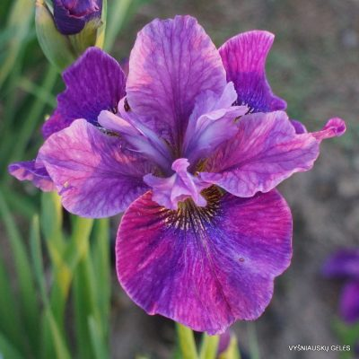 Iris 'Roaring Jelly'