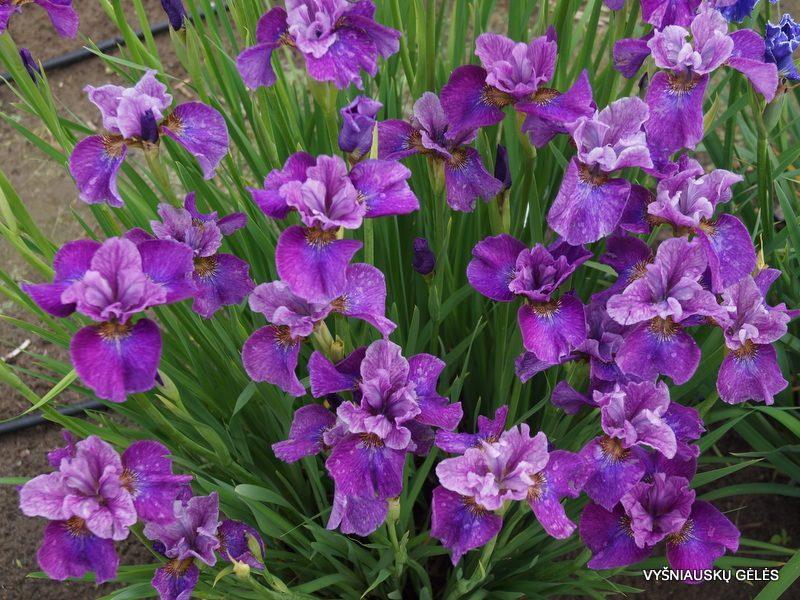 Iris 'Roaring Jelly' (3)
