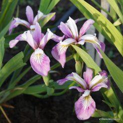 Iris 'Rowden Aria'
