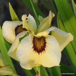 Iris 'Ryugan'