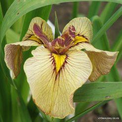 Iris 'Samon'