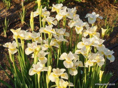 Iris 'Sassy Kooma' (2)