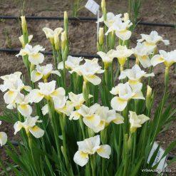 Iris 'Sassy Kooma' (3)