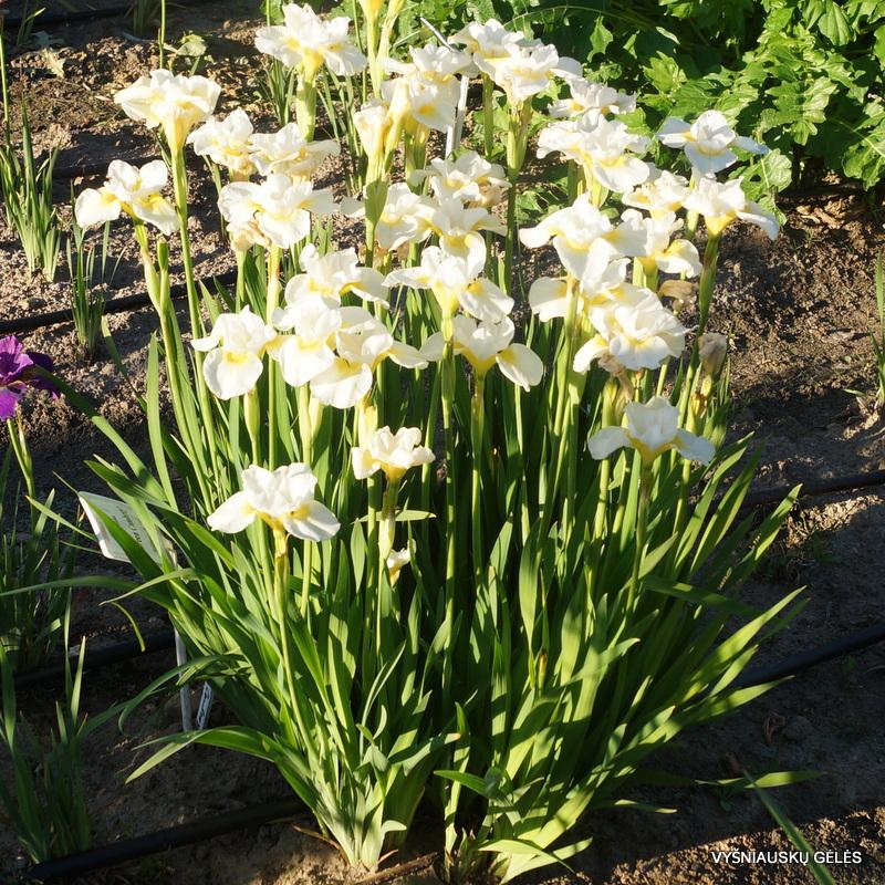 Iris 'Sassy Kooma'